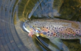 Trout on a dry fly