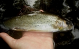 Grayling caught in a deep pool