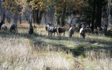 Big Horn Sheep grazing near the creek