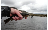Brown trout almost eating MC farmer