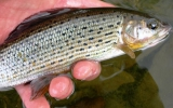 Grayling silver