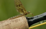 Hatching mayflies